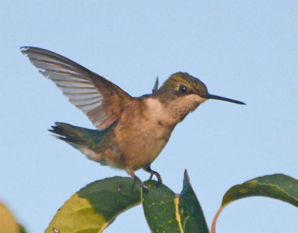 Ruby Throated Hummingbird 2017-15