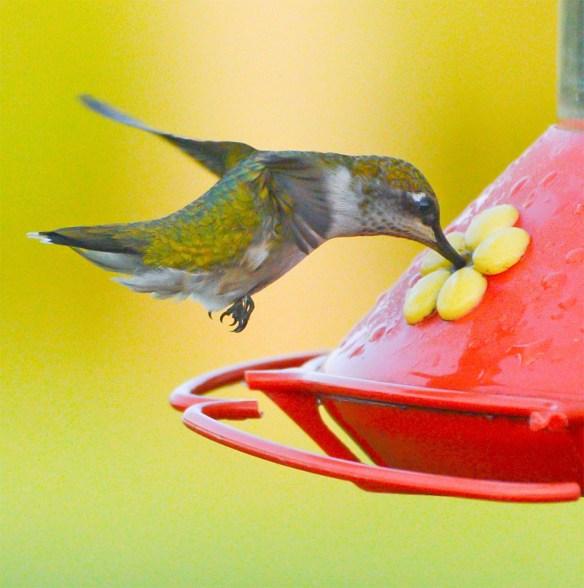 Ruby Throated Hummingbird 2017-16