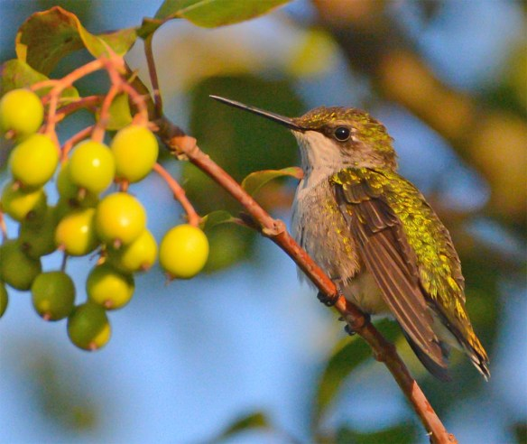 Ruby Throated Hummingbird 2017-18