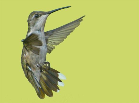 Ruby Throated Hummingbird 2017-20