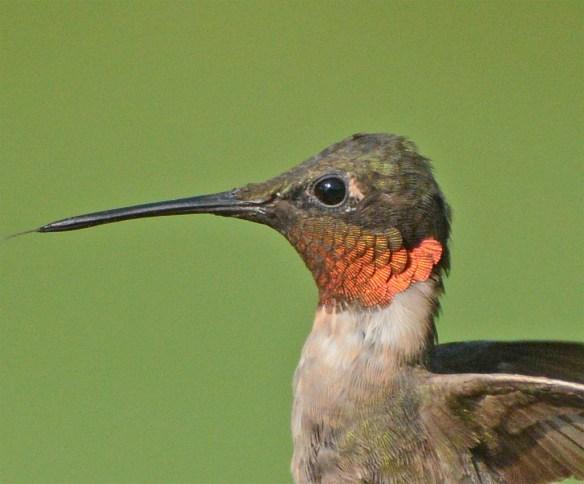 Ruby Throated Hummingbird 2017-25
