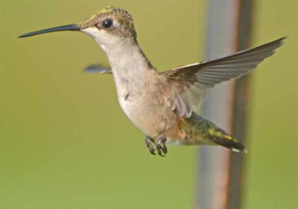 Ruby Throated Hummingbird 2017-29