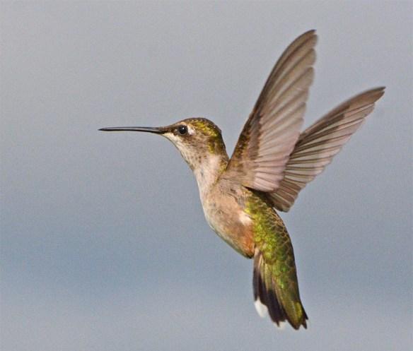Ruby Throated Hummingbird 2017-31