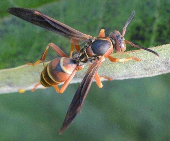 Wasp 24