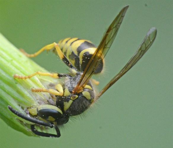 Wasp 29
