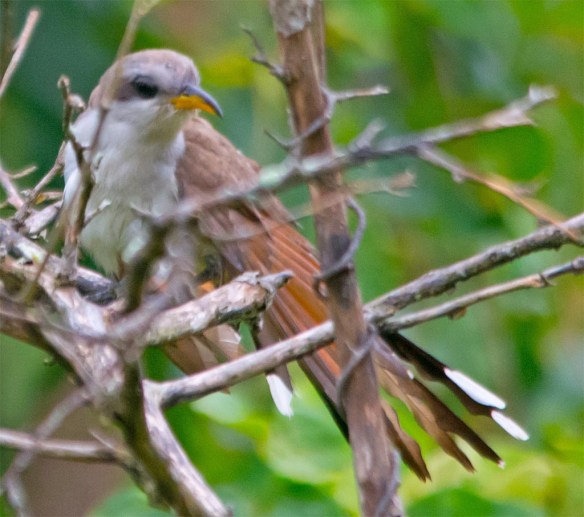 Yellow Billed Cickoo 2017-1