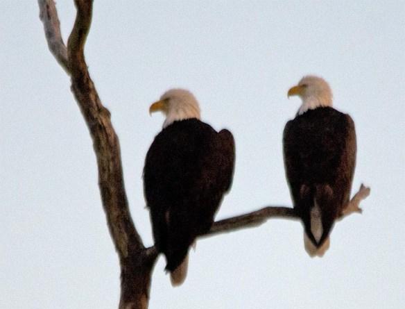 Bald Eagle 2017-165