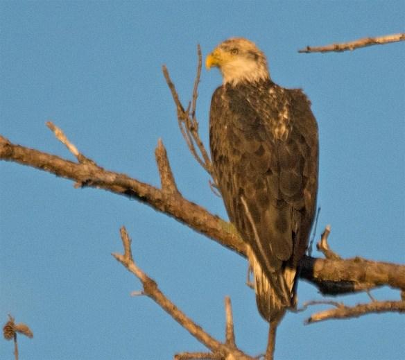Bald Eagle 2017-166