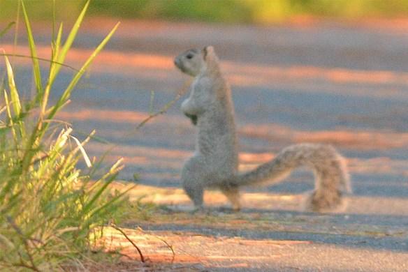 Delmarva Fox Squirrel 22