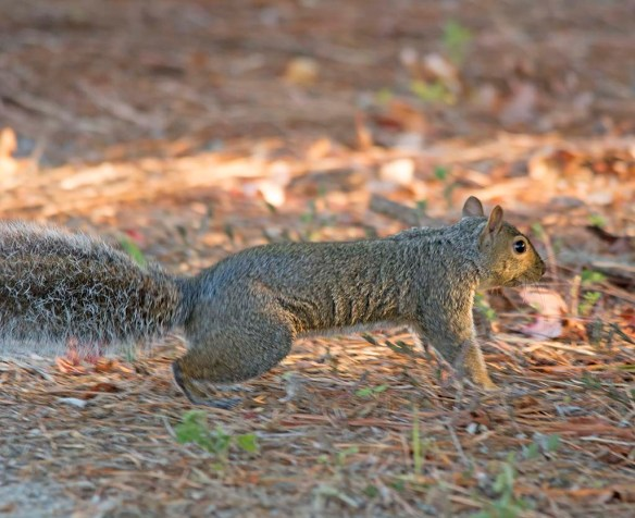 Delmarva Fox Squirrel 25