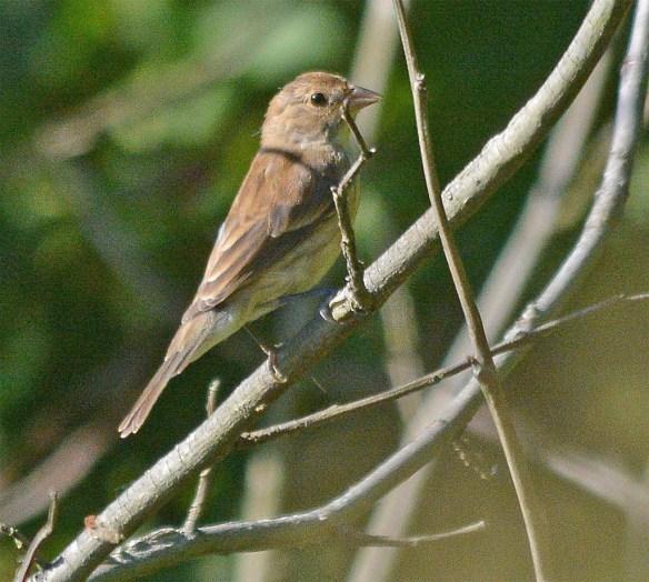 Field Sparrow 2017-2