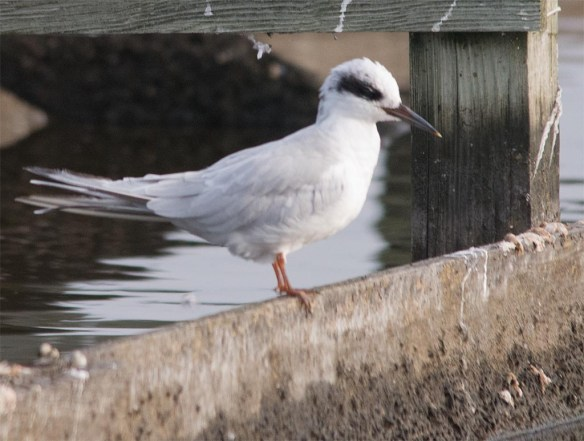 Forster's Tern 2017-122