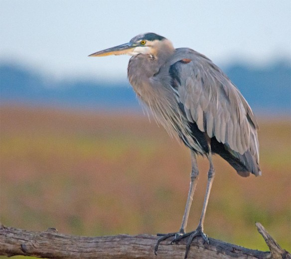 Great Blue Heron 2017-91