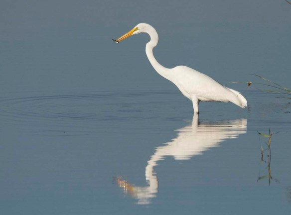 Great Egret 2017-140