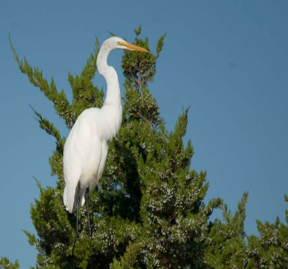 Great Egret 2017-141