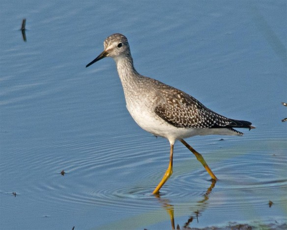 Greater Yellowlegs 2017-31