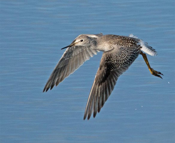 Greater Yellowlegs 2017-32