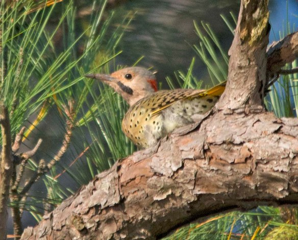 Northern Flicker 2017-7