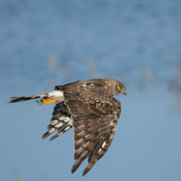 Northern Harrier 2017-100