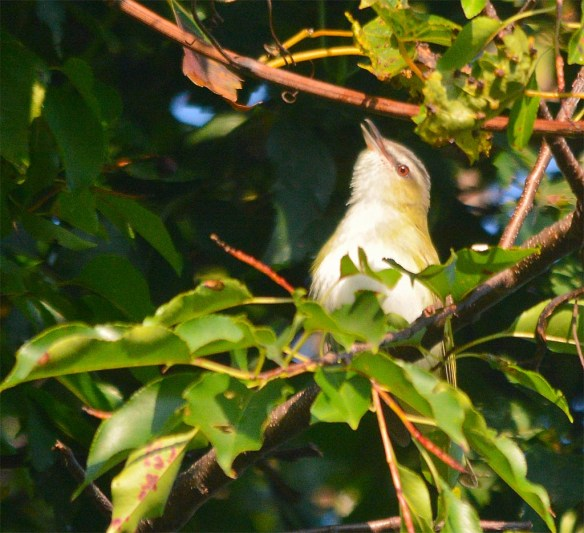 Red Eyed Vireo 2017-4