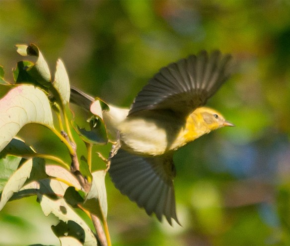 Red Eyed Vireo 2017-5