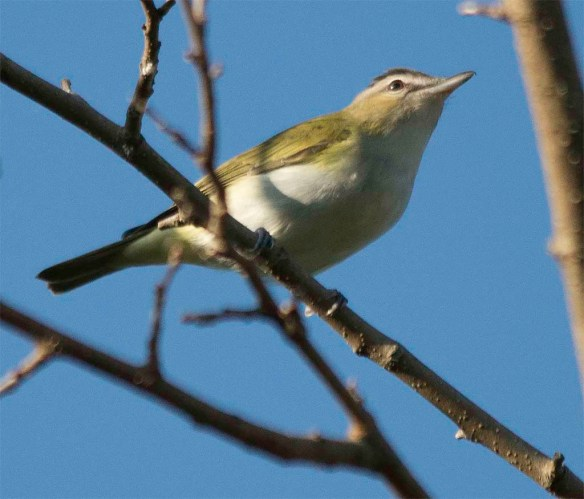 Red Eyed Vireo 2017-6