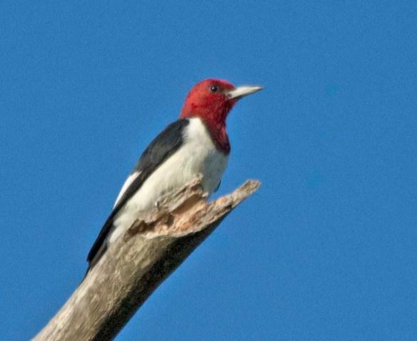 Red Headed Woodpecker 2017-78