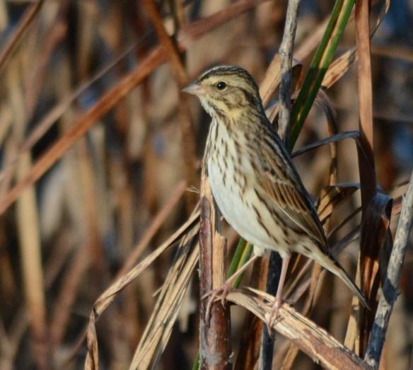 Savannah Sparrow 2017-100