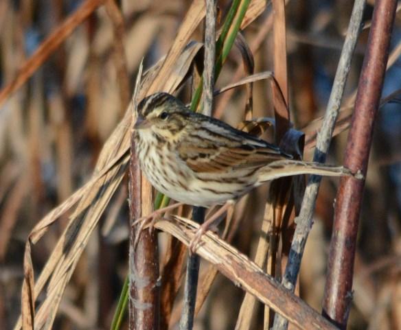 Savannah Sparrow 2017-101.JPG