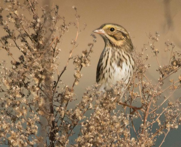 Savannah Sparrow 2017-4
