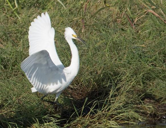 Snowy Egret 2017-75