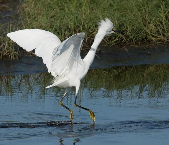 Snowy Egret 2017-78