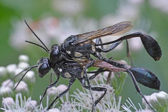 Wasp 35