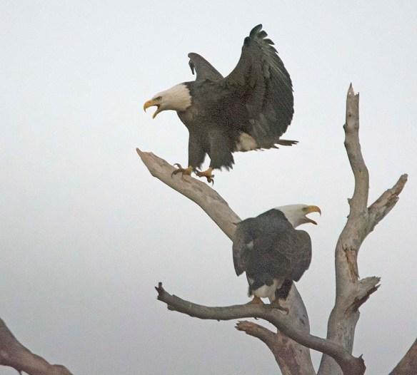 Bald Eagle 2017-185