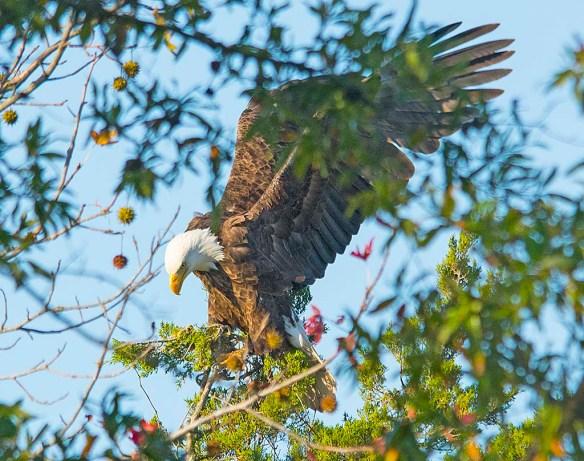Bald Eagle 2017-189