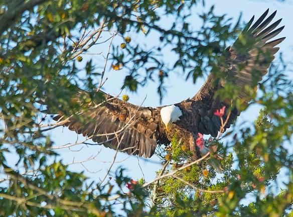 Bald Eagle 2017-190