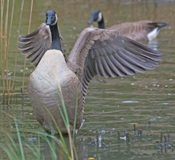 Canada Goose 2017-52