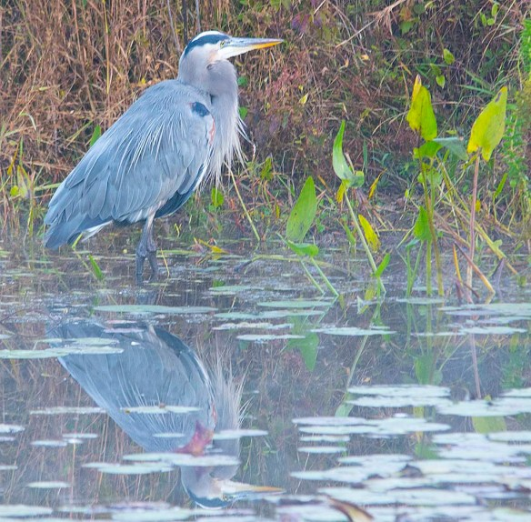 Great Blue Heron 2017-108