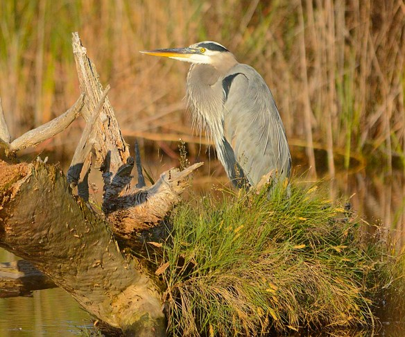 Great Blue Heron 2017-118