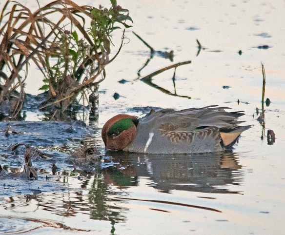 Green Winged Teal 2017-25