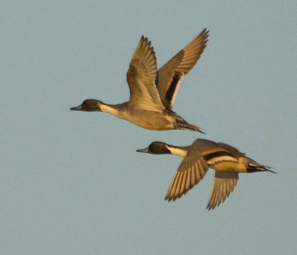 Northern Pintail 2017-42
