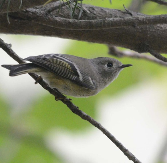 Ruby Crowned Kinglet 2017-1