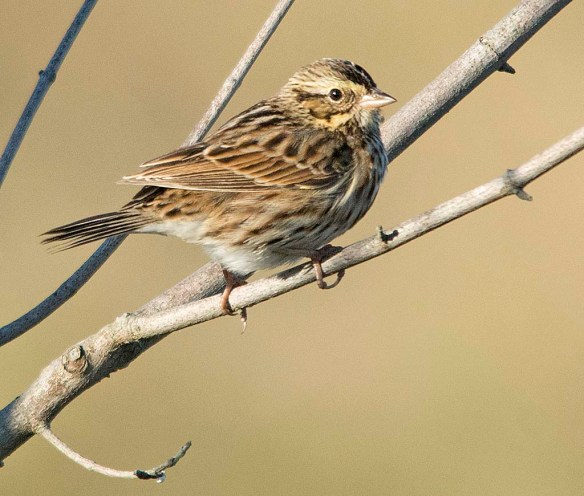 Savannah Sparrow 2017-7