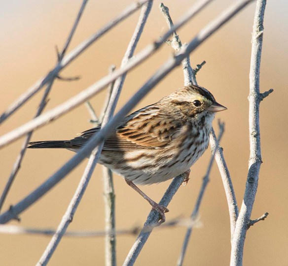 Savannah Sparrow 2017-8