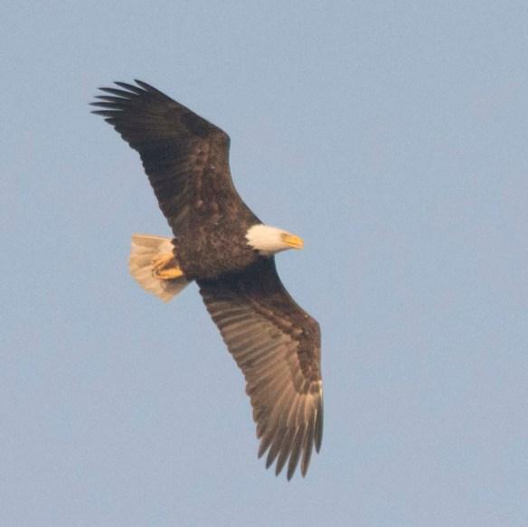 Bald Eagle 2017-203