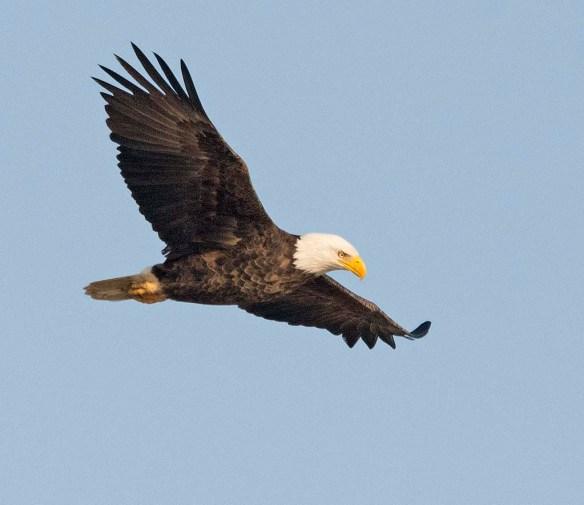Bald Eagle 2017-205