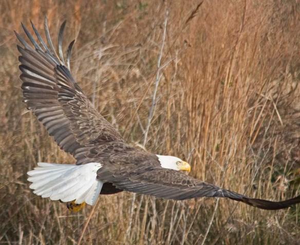 Bald Eagle 2017-210