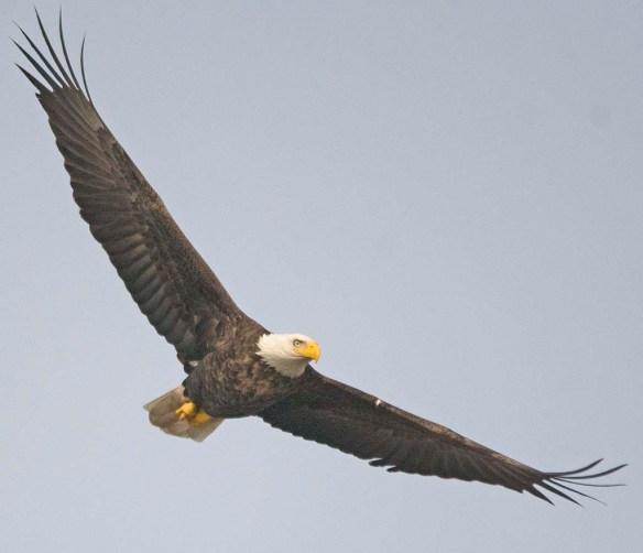 Bald Eagle 2017-213