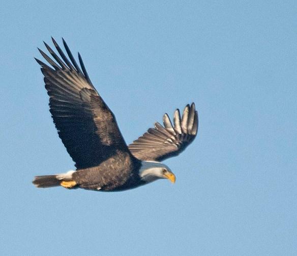 Bald Eagle 2017-218