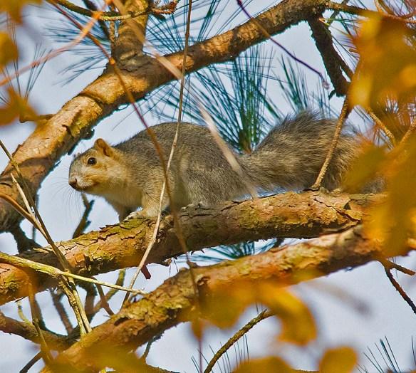 Delmarva Fox Squirrel 27
